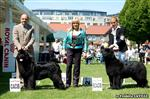 Cally with Trevor winning CACIB & CAC with res going to  Int Ch Waterbear Glory for Fairweathers, handled by her owner (our friend) Loredana Salina.. with judge  Ms Y Nagler (Israel)